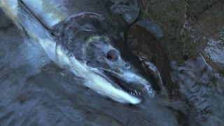Head of Dead Salmon in Creek