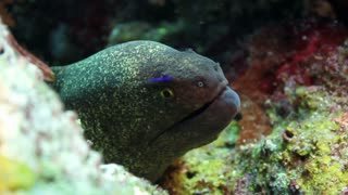 Head of Eel Popping Out of Coral