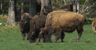 Herd of American Bison at a Wildlife Preserve