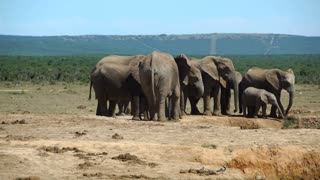 Herd of elephants around a waterpool in Addo Elephant National Park South Africa