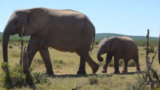Herd of elephants passing by in Addo Elephant National Park South Africa