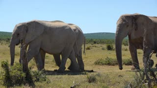 Herd of elephants with cute baby elephant passing by in Addo Elephant National Park South Africa