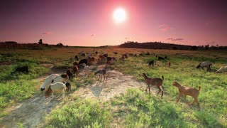 Herd of Goats Walking and Eating Grass as Sun Rises