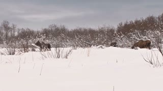 Herd of Moose in Snow Covered Field