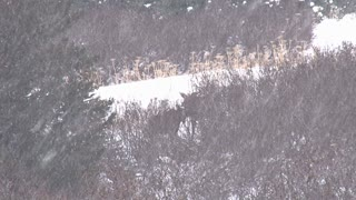 Herd of Moose in Snow