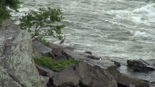 Heron Standing on Rocks by River Rapids