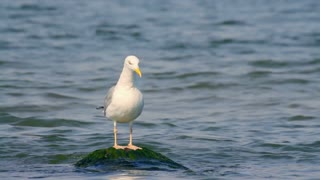 Herring gull on the stone in the sea in summer, close-up