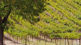 Hillside Grape Vines