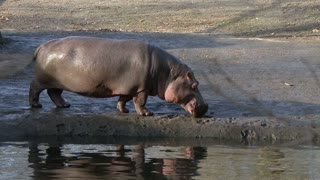 Hippo by water source