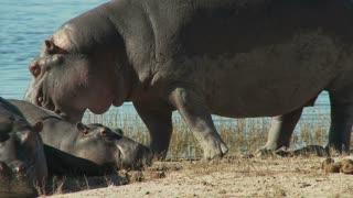 Hippo Roar