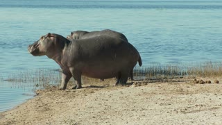 Hippos Getting Into Water