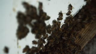 Hive of bees crawling out of their box - Agricultural Honey