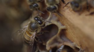 Honey Bees in the Hive - Macro shot of individuals