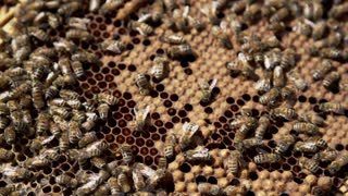 Honey Bees in the Hive - Macro Slow Motion