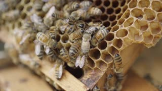 Honey Bees in the Hive - making sweet honey