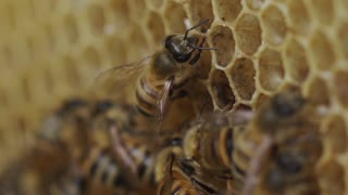 Honey Bees in the Hive - slow motion honeycomb