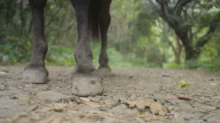 Horse Hooves in the Woods