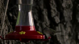Hummingbird at Bird Feeder 3