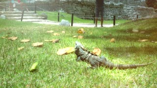 Iguana in mayan temple