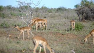 Impalas in Kruger National Park South Africa