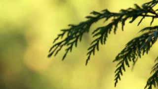 In and out of focus on pine tree and then quick zoom to closer object