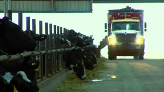 Industrial Cattle Farm With Feed Truck