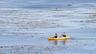 Kayakers Explore The Area Near A Kelp-bed