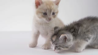 Kitten Brothers on White background