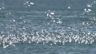 Kittiwakes Flying Over Water Pan Left