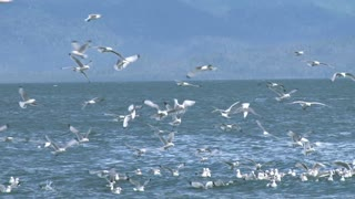 Kittiwakes in Frenzy Over Water