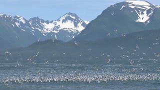 Kittiwakes with Bay and Mountains in the Background