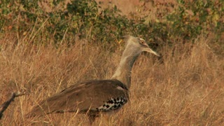 Kori Bustard In Dry Field