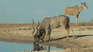 Kudu Drinking Water 2