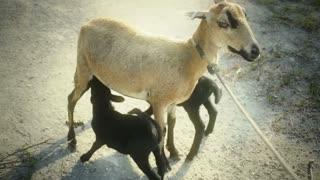 Lamb feeding babies