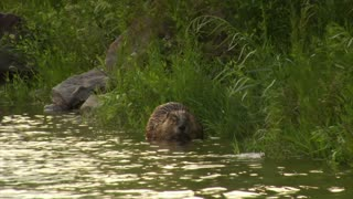 Large Beaver Sits In Water