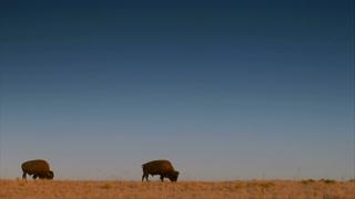 Large Bison Large Bison