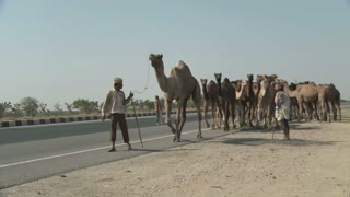 Large Group of Camels Roadside in Rajasthan