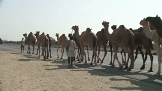 Large Group of Camels Walking Along Road in Rajasthan