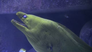 Large Scaly Fish Breathing Underwater