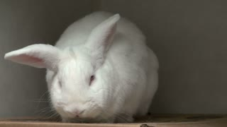Large White Bunny