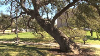 Leaning Tree In Austin