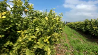 Lemon Orchard 2