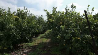 Lemon Orchard