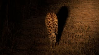 Leopard At Night 2