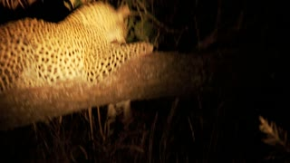 Leopard At Night 3
