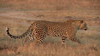 Leopard In Field