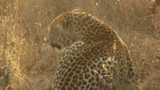 Leopard Laying In Dry Grass 2