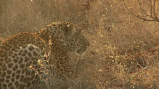 Leopard Laying In Dry Grass