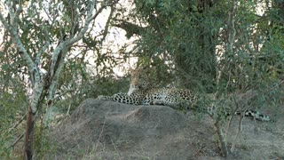 Leopard Laying On Rock 2