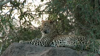 Leopard Laying On Rock